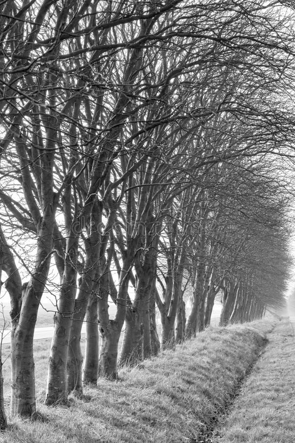 Naked Roadside Trees. Black and white shot of naked roadside trees on a misty morning royalty free stock images