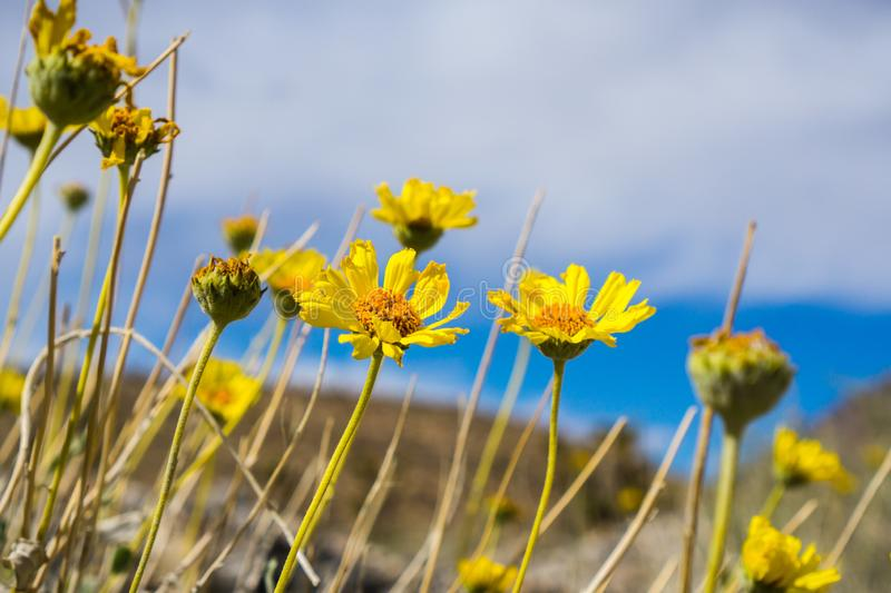 Naked-stemmed Daisy Enceliopsis nudicaulis blooming in Death Valley National Park, California royalty free stock photo