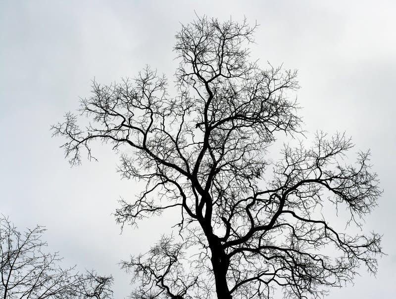 Naked tree. Old naked tree on a sky background stock photos