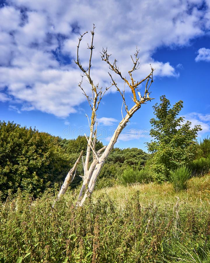 Naked tree in the bush of high dunes in the north of the island Hiddensee. Cloud, landscape, nature, spring, baltic, sea, april, background, blue, bough stock image