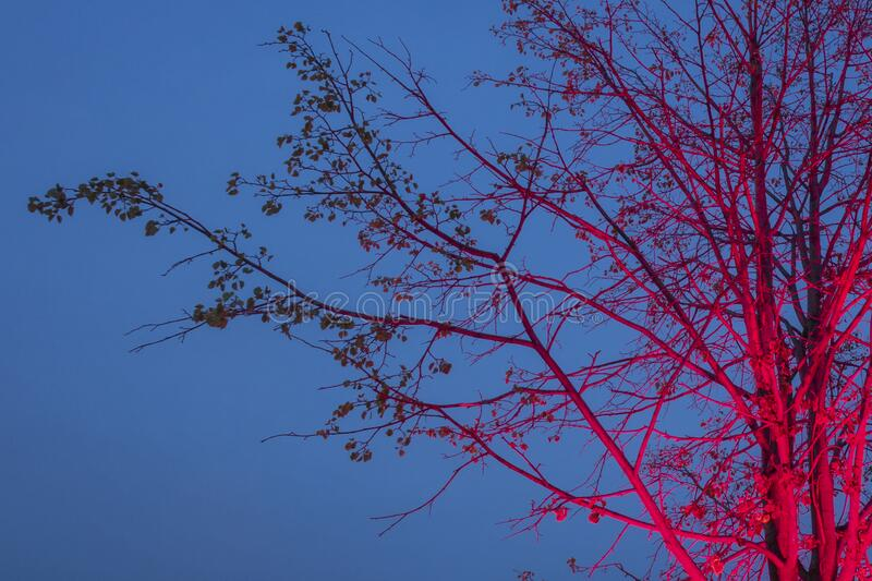 Naked tree highlighted with pink against blue sky. Closeup view. Night illumination stock image