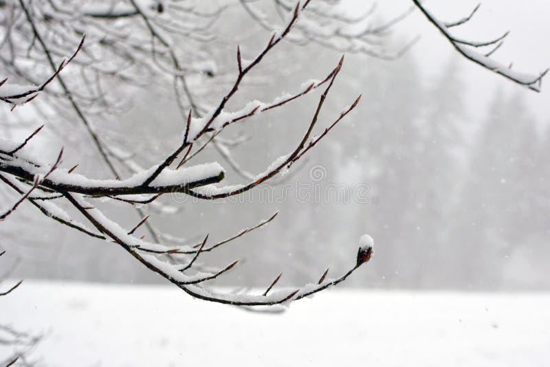 Naken trädfilial som täckas i insnöad framdel av vit vinterbakgrund royaltyfria foton
