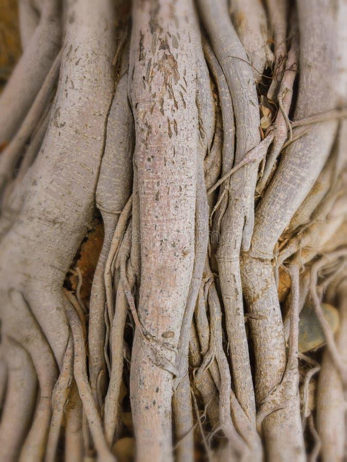 Naket rotar av Banyanträdet fotografering för bildbyråer