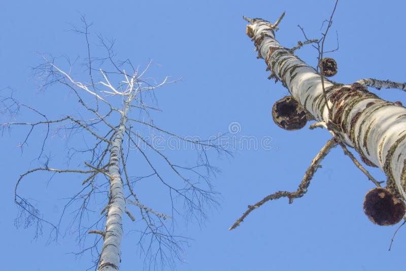 Nakna björkträd som ser upp arkivbild