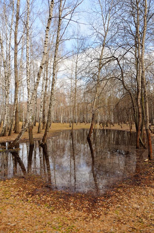Nakna träd för vit björk är på våren skogen i en stor pöl arkivfoto