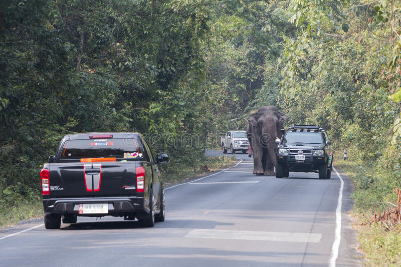 Nakornratchasima, Thailand - February 20, 2016: Park Rangers Authorities try to use the car to guide the Elephant back into the f. Nakornratchasima, Thailand stock images