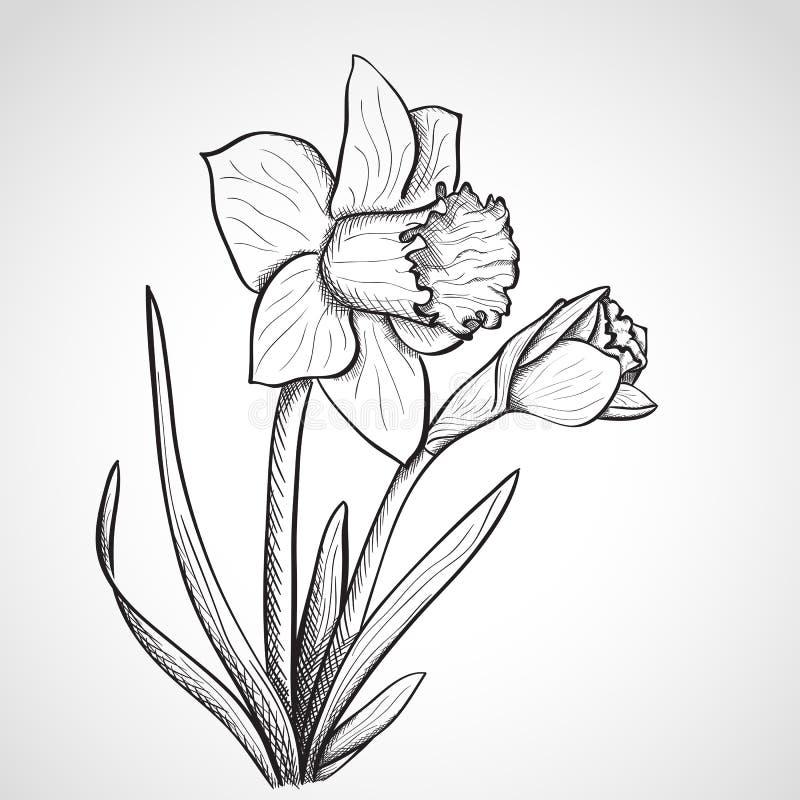 Nakreślenia daffodil kwiat, ręka rysująca ilustracja wektor