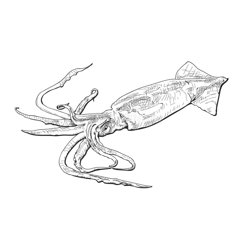 Nakreślenie kałamarnica Pociągany ręcznie calamari Restauracyjny projekt również zwrócić corel ilustracji wektora royalty ilustracja