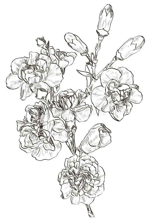 Nakreślenie kwiatu goździk ilustracja wektor