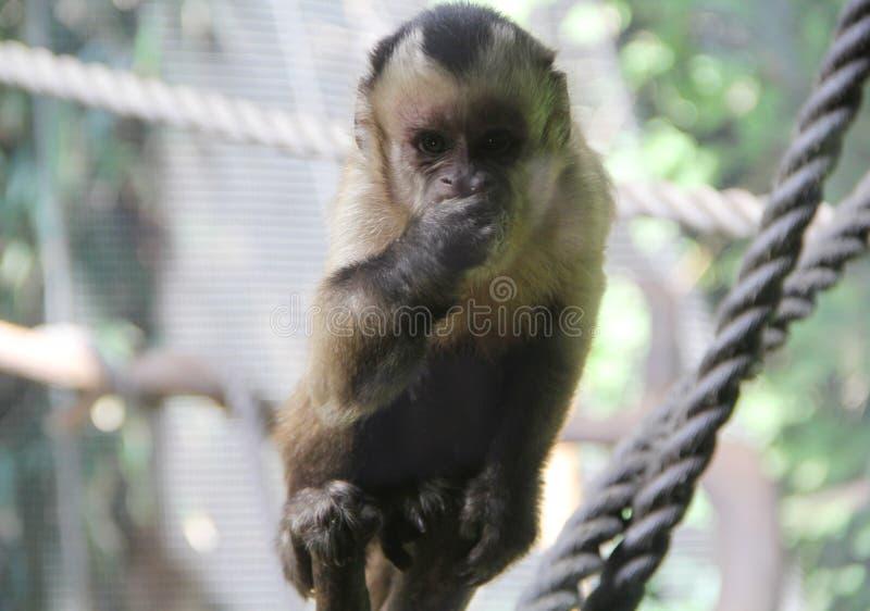 nakrywająca Capuchin łasowania owoc II zdjęcie royalty free