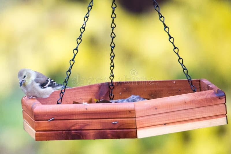 Nakrywający Chickadee karmienie na ziarnie zdjęcie stock