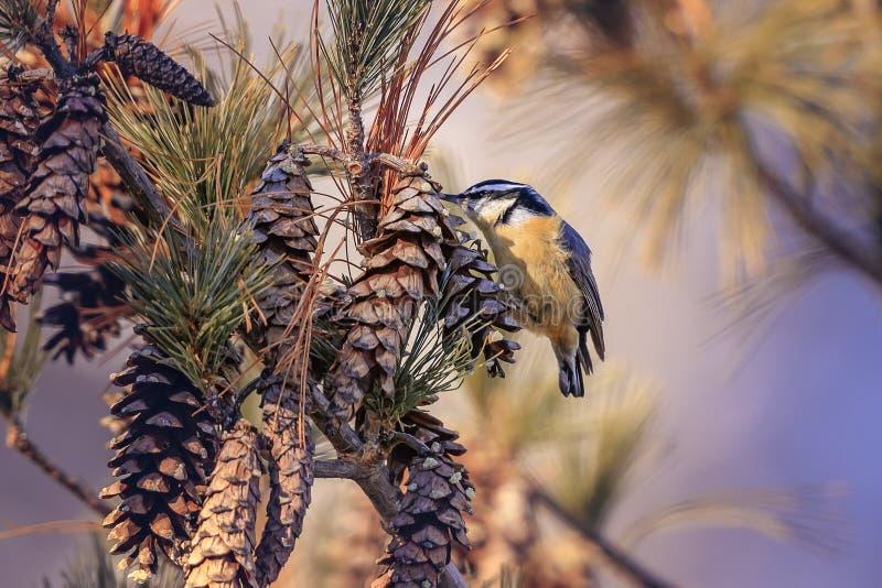 Nakrywający Chickadee, ptak śpiewający fotografia stock