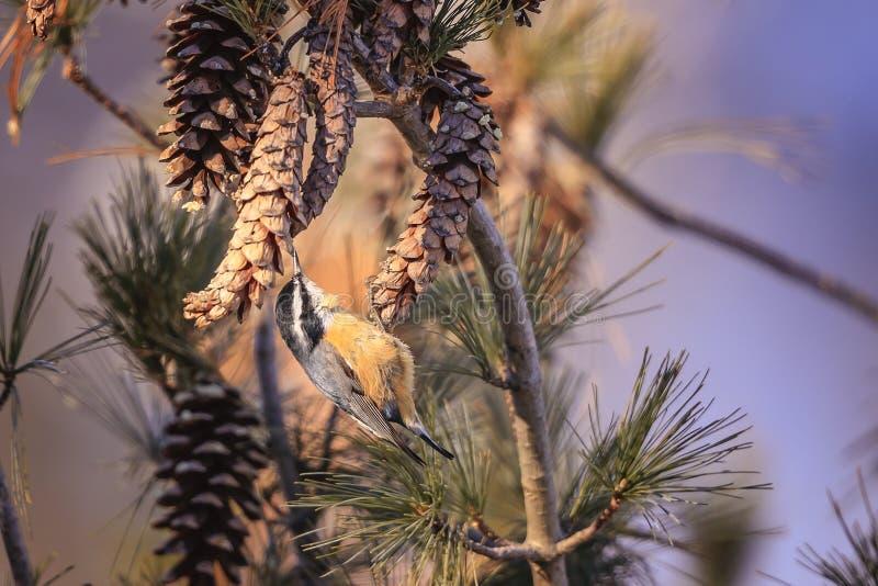 Nakrywający Chickadee, ptak śpiewający obrazy stock