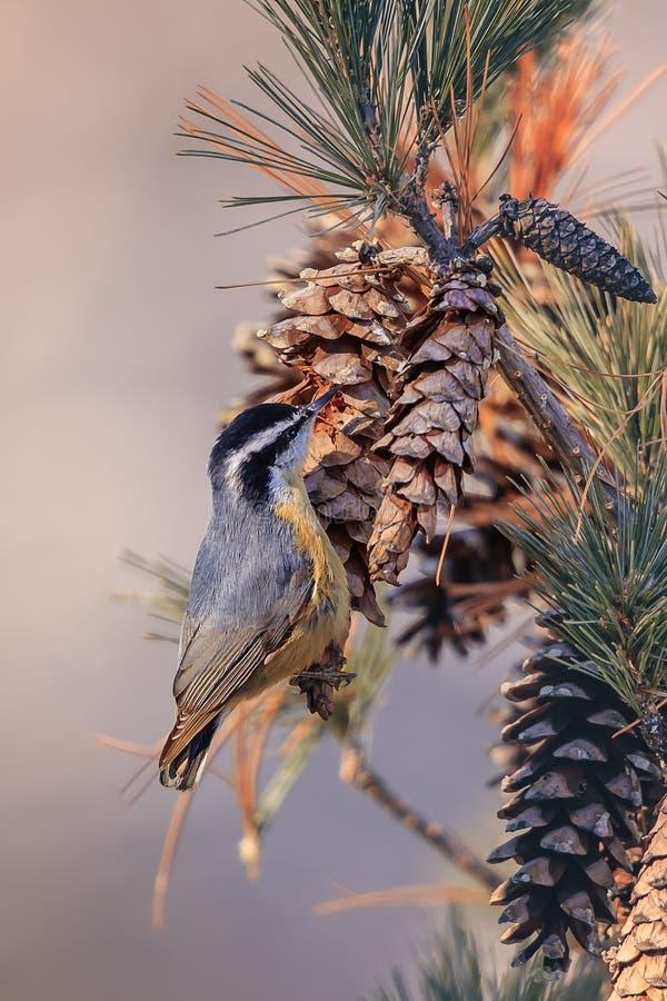 Nakrywający Chickadee, ptak śpiewający zdjęcia royalty free