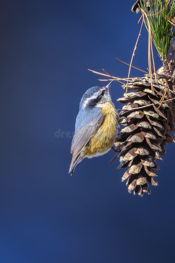 Nakrywający Chickadee, ptak śpiewający fotografia royalty free