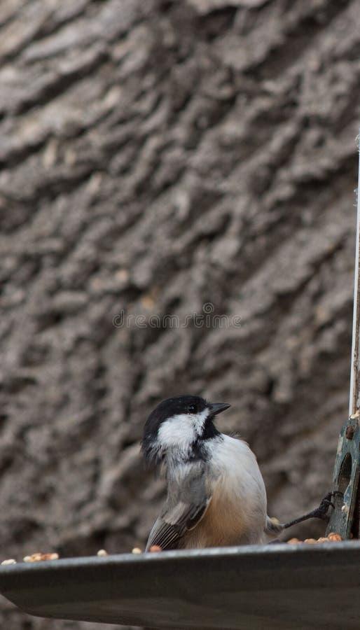 Nakrywający Chickadee uważnie sprawdza ptasiego dozownika obrazy royalty free