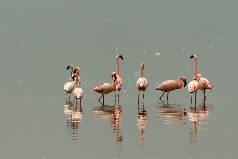 nakuru λιμνών φλαμίγκο στοκ φωτογραφίες