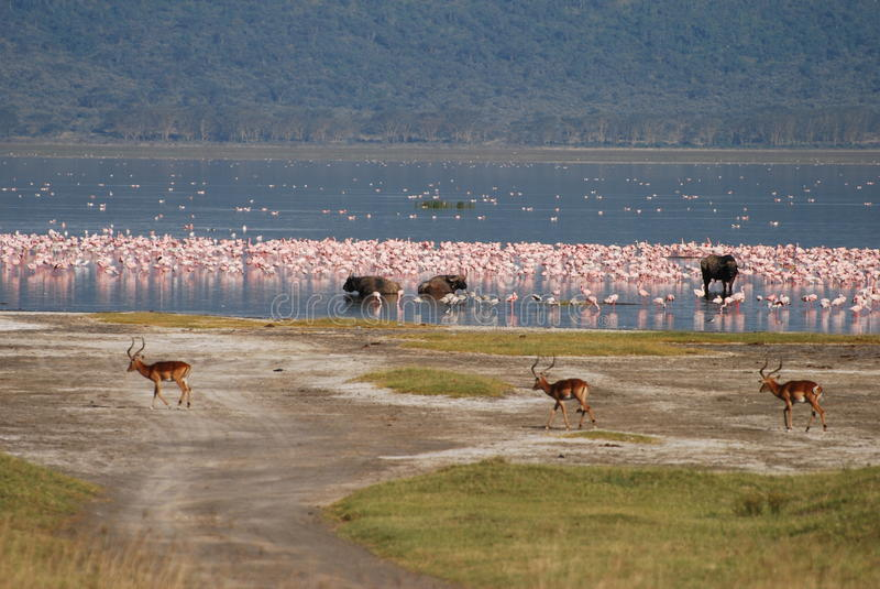 Download Nakuru jeziorna przyroda zdjęcie stock. Obraz złożonej z szczelina - 13327982