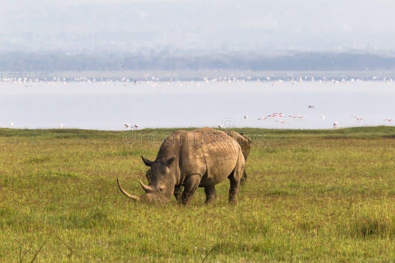 Nakuru strand Vit noshörning, Kenya royaltyfri fotografi
