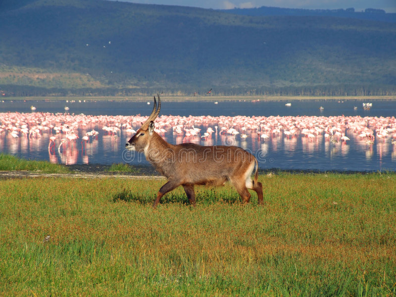 nakuru waterbuck στοκ εικόνες με δικαίωμα ελεύθερης χρήσης