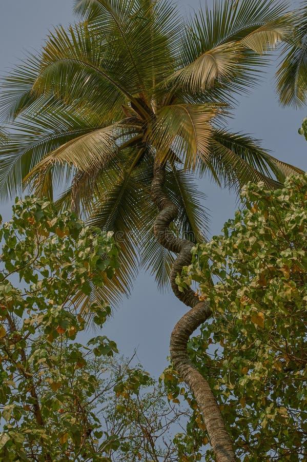 Nalasopara Near Mumbai Maharashtra, árvore de coco estragada fotografia de stock