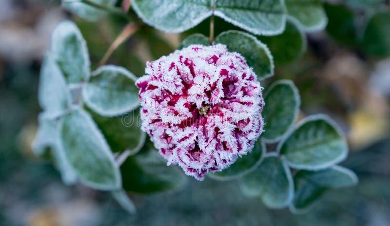 Nam bloeiend toe De bloesem van de bloem Ijzige rode bloei en groene bladeren in de herfst, natuurlijke milieuachtergrond stock foto's