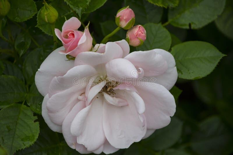 Nam bloemclose-up toe Ondiepe Diepte van Gebied De de lentebloem van wit nam toe stock afbeelding