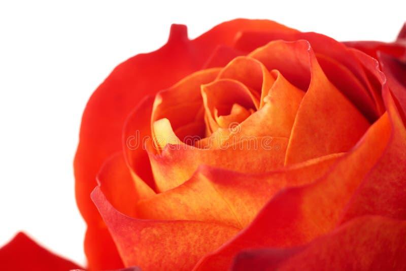 Nam bloemknop over de witte achtergrond wordt geïsoleerd die toe stock afbeelding