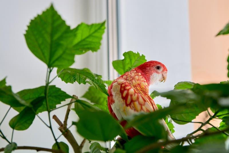 Nam de de kleuren robijnrode zitting van de Rosellapapegaai op een tak van een Chinees toe royalty-vrije stock afbeeldingen