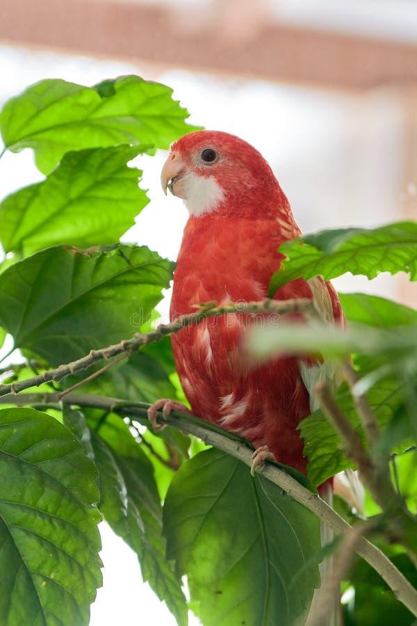 Nam de de kleuren robijnrode zitting van de Rosellapapegaai op een tak van een Chinees toe stock afbeelding