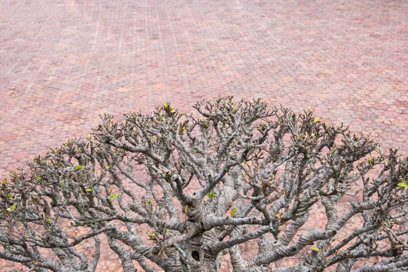 Nam de open droge tak van de woestijnbloem toe stock foto