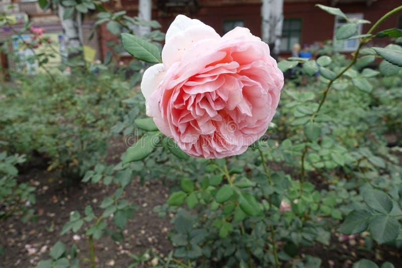 Nam de pastelkleur roze bloem van toe stock afbeeldingen