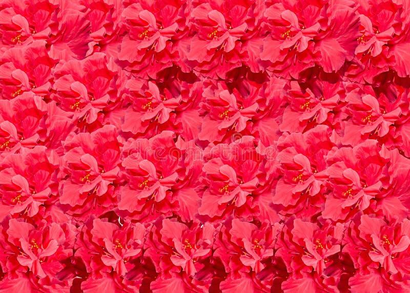 Nam de rode die bloem van hibiscus rosa-sinensis, als Chinese hibiscus, China wordt bekend, Hawaiiaanse shoeblackplant hibiscus t stock afbeeldingen