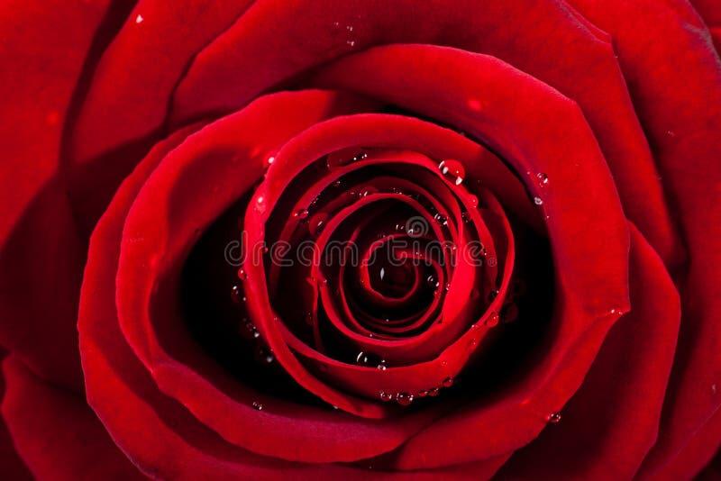 Nam en bloemblaadjes op witte achtergrond toe Rood nam hoofd op macro met kleine dalingen van water toe royalty-vrije stock afbeelding