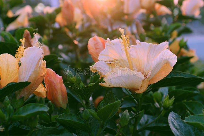 Nam malve van hibiscus het bloeien toe royalty-vrije stock afbeeldingen
