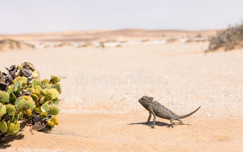 Namaqua-Chamäleon, Swakopmund, Namibia lizenzfreie stockfotos