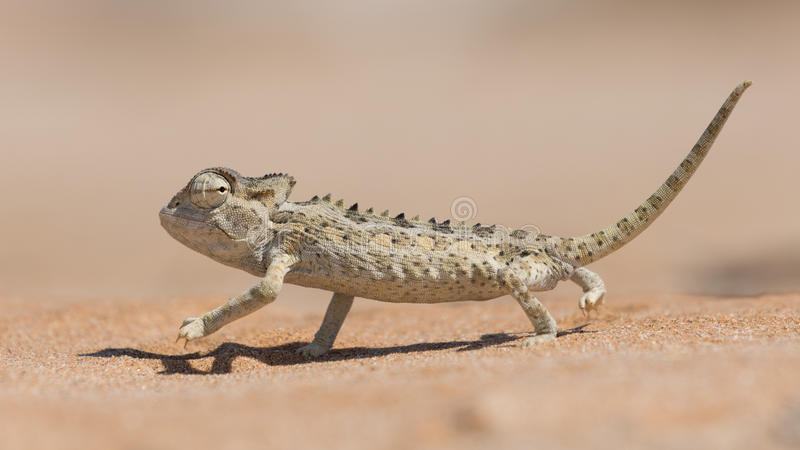 Namaqua Chameleon, Swakopmund, Namibia. Desert adapted Namaqua Chameleon Chamaeleo namaquensis in the Dorob National Park near Swakopmund, Namibia stock photography