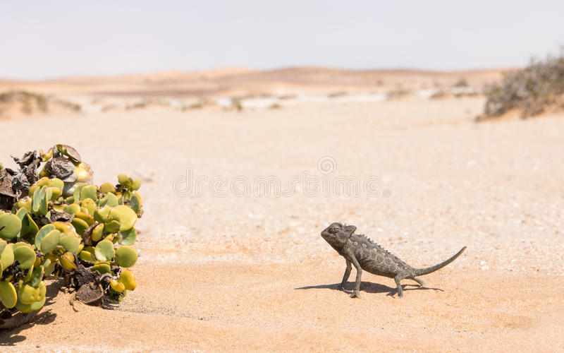 Namaqua Chameleon, Swakopmund, Namibia. Desert adapted Namaqua Chameleon Chamaeleo namaquensis in the Dorob National Park near Swakopmund, Namibia royalty free stock photos