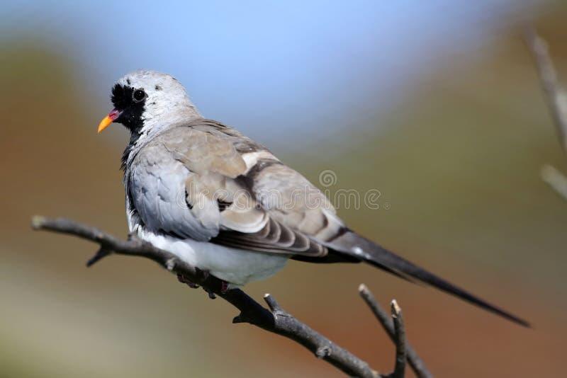 Namaqua dove. Beautiful Namaqua dove perched on a branch stock photos