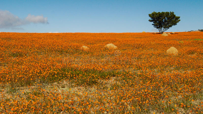 Namaqua royalty free stock photo