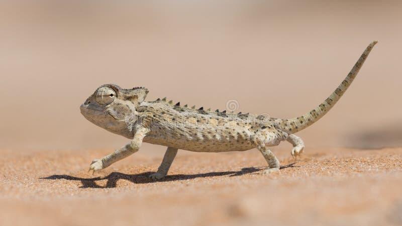 Namaqua kameleont, Swakopmund, Namibia arkivbild