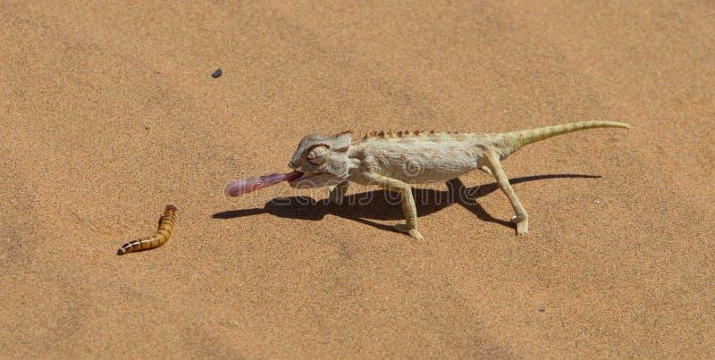 Namaqua kameleontjakt i den Namib öknen royaltyfri bild