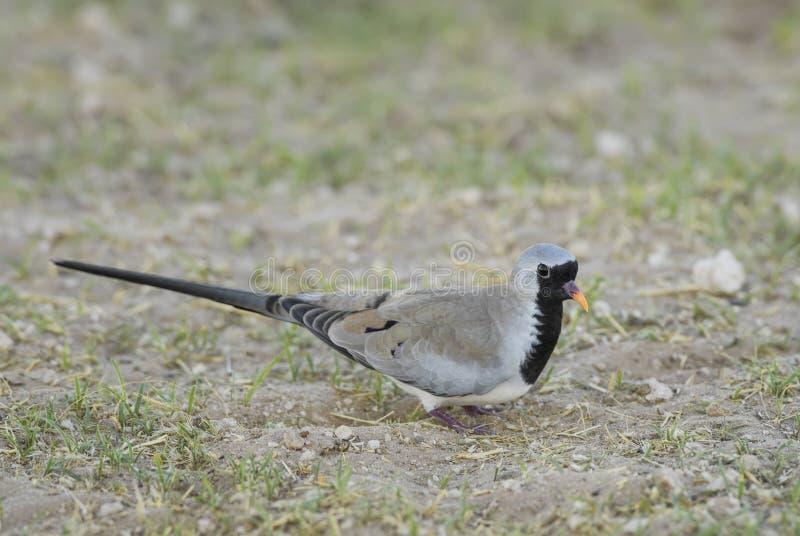 Namaqua-Taube - Oena-Capensis lizenzfreies stockbild