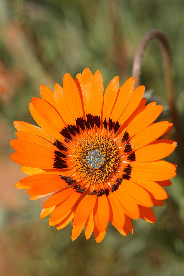 Namaqualand Daisie lizenzfreie stockfotos