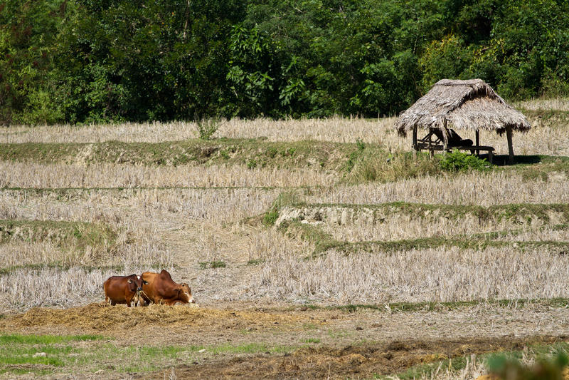 Namdinh, αγελάδες του Βιετνάμ στον τομέα στοκ φωτογραφία