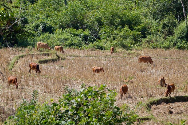 Namdinh, αγελάδες του Βιετνάμ στον τομέα στοκ φωτογραφία με δικαίωμα ελεύθερης χρήσης