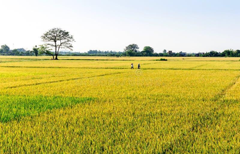 Namdinh, Vietnam - 31 de mayo de 2015 - paisaje de madura campos de arroz en el tiempo de cosecha foto de archivo libre de regalías