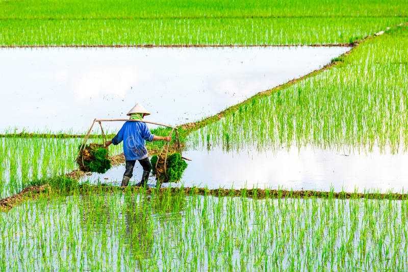 NAMDINH, VIETNAM - JULY 13, 2014 - An unidentified woman carrying rice bundles to the fields on her shoulder pole. royalty free stock photos