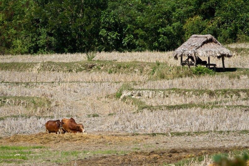 Namdinh, Vietnam-Kühe auf dem Gebiet stockfotografie