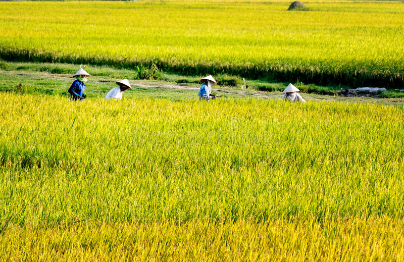 Namdinh, Vietnam - May 31, 2015 - Farmers harvesting rice on the fields stock image